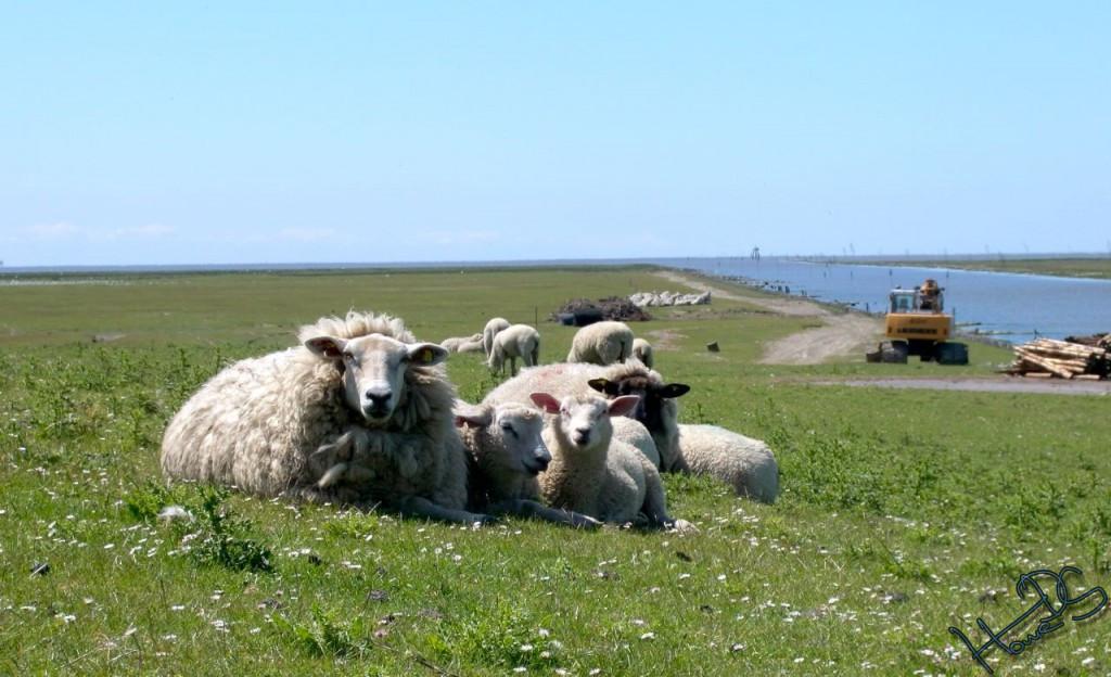 Schafe am Deich von Friedrichskoog