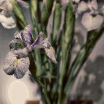 Variationen von Iris, weisse Iris