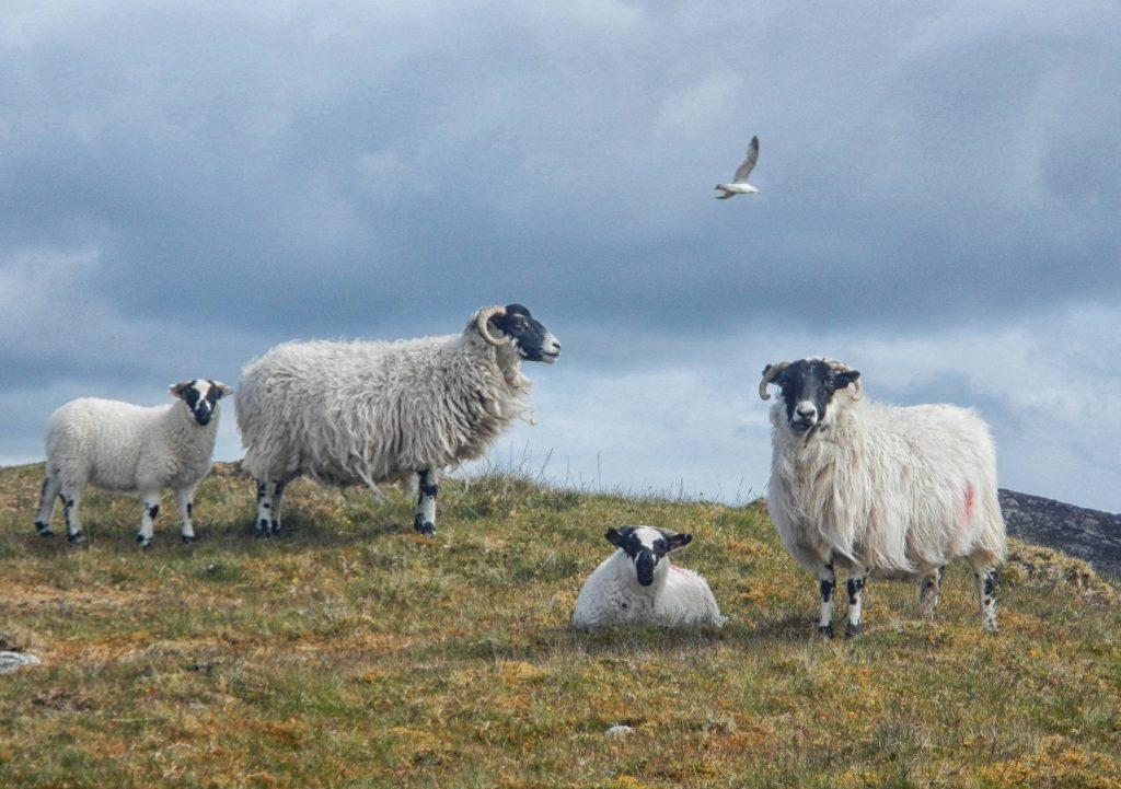 Scottish Blackface von der Isle of Lewis. Das Foto wurde mir freundlicher Weise zur Verfügung gestellt.