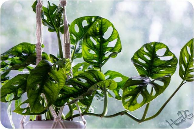 Monkey Leaf